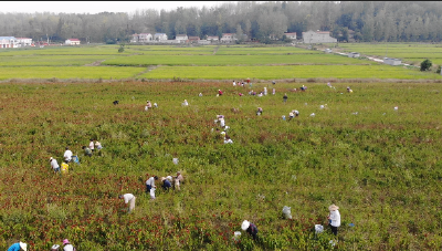 湖北南漳县:种植朝天椒 铺就农民致富路