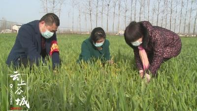 """10余架""""无人机""""上线作业 谷城今年小麦丰收有望"""