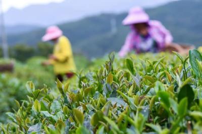 保康县3.6万亩秋茶迎来采摘旺季