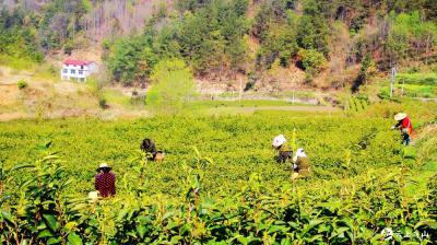 【英山云雾香·携手闯市场】高山荒野茶正香