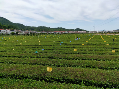 英山县大力推广茶叶病虫绿色防控技术