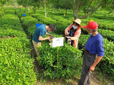 英山县积极开展金龟子绿僵菌防治茶小绿叶蝉试验示范