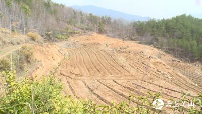紫菀种植开拓英山县万家冲村产业发展新领域