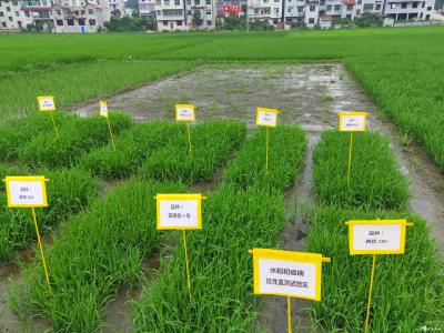 英山县积极开展水稻稻瘟病抗性监测试验