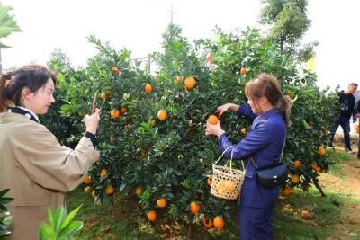 枝江脐橙开园啦!
