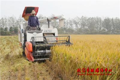 百里洲MAP农场一期800亩水稻喜获丰收