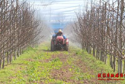 百里洲镇加强春季田间管理打好砂梨丰产基础