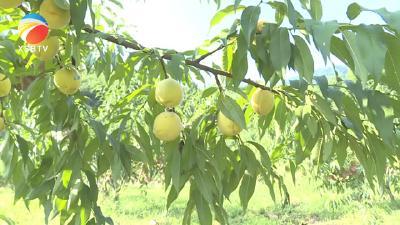 【视频】黄桃洗马黄桃采摘节:聚来人气 乐了村民