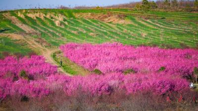 春日赏花正当时,老河口这片梅花开了