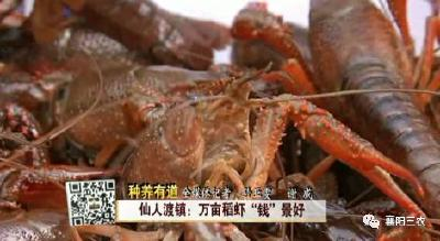 """仙人渡镇:万亩稻虾""""钱""""景好"""