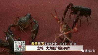 宜城:大力推广稻虾共作