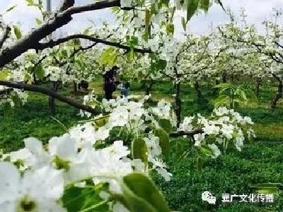 本周日,美丽乡村行带您品尝老河口的桃儿、梨儿!