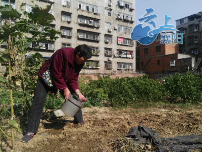 襄阳闹市区空地成菜园?