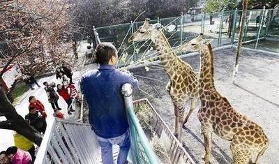 2.5万人游动物园 长颈鹿斑马受欢迎