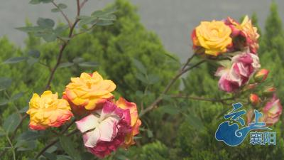 只因太美!汉江路上的盆景月季一周丢了18盆