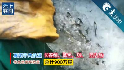 【襄视频】900万尾放流  汉江鱼增军扩容