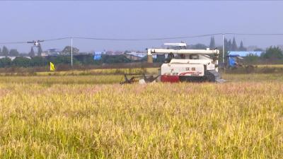 视频丨再生稻田多功能油菜免耕飞播技术推广