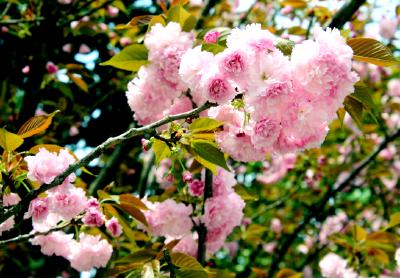 孝昌:樱花盛开花团锦簇