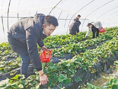 小草莓 增收果