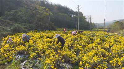 孝昌:养蜂,喂牛,种茶,七里冲村产业扶起来了