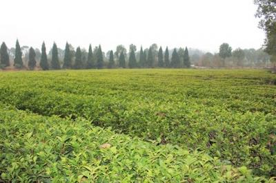 一片茶叶的能量——通城茶产业发展纪略
