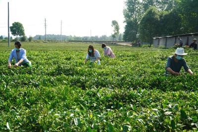 【战疫情促农业发展⑮】通城:汪国富的茶叶经