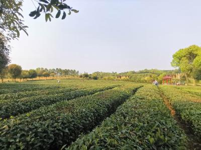 【农业动态⑪】锦山茶厂:春来茶香飘山间 采茶制茶忙不停