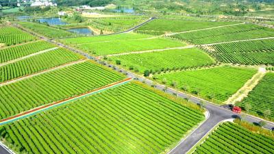通城做强特色茶叶产业助力乡村振兴发展