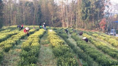 崇阳铜钟乡:黄土坡上茶飘香