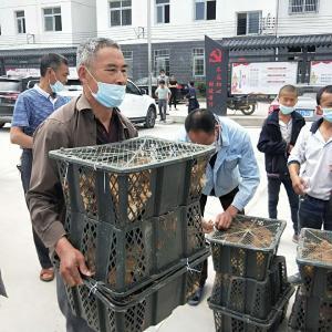 脱贫攻坚进行时: 村民喜领鸡苗发展林下经济