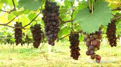 高枧富硒葡萄熟了!健康又美味 走 尝鲜去!