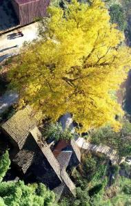 崇阳500岁古银杏——金蝶飞舞满枝黄