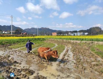 通山大路乡:万亩油菜美村庄富农民