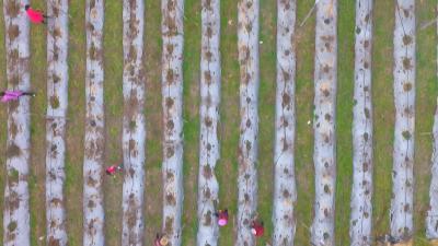 通山:7万亩地膜玉米连成一幅春耕图