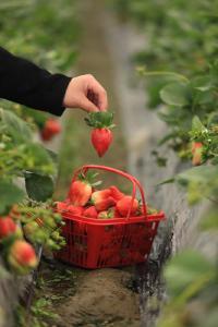 """【新春走基层①】""""草莓夫妻""""的甜蜜事业"""
