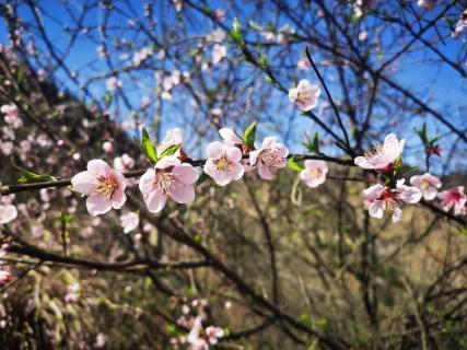 长江云——杨芳林乡:春来樱花谷,秀美赛江南