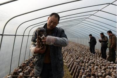 孛畈镇:香菇产业强村富民