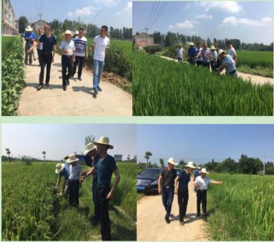 孝感市农业局领导调研安陆当前水稻生产情况