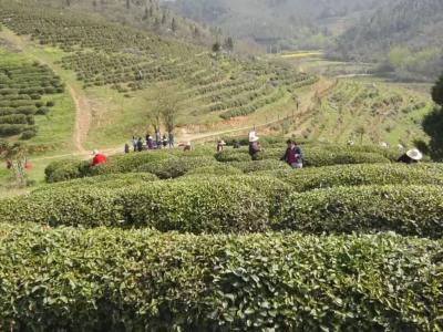 安陆市雷公镇:茶产业铺就绿色发展新未来
