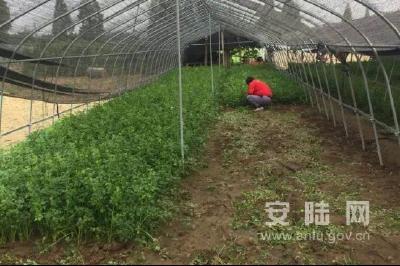 巡店镇顾李村:反季节凯丽香芹助力村民增收致富