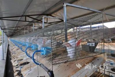 安陆68岁老人养兔子 成村中致富能手