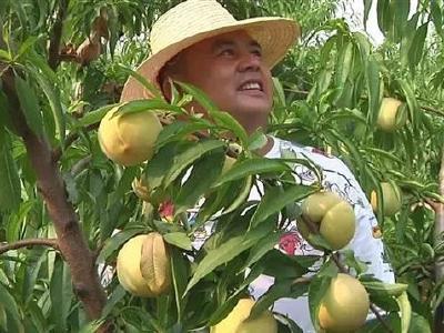 15000公斤冬桃还在枝头就被客户订购一空,咋这俏?