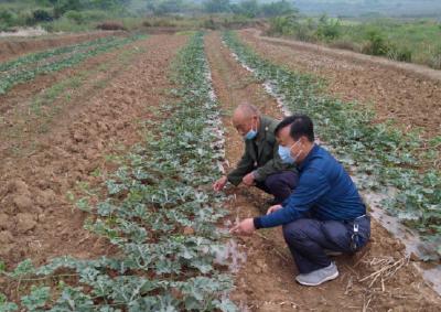 安陆市接官乡:西瓜授粉正当时 技术扶贫到田头