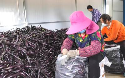 走向我们的小康生活——辛榨乡蒋堰村:大棚里的小康生活