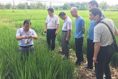 省植保总站领导到安陆指导病虫害防治工作