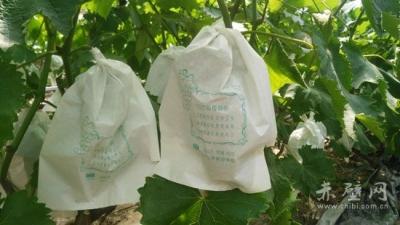 葡萄套袋:高产提品少虫害