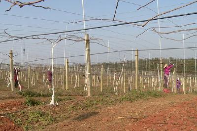 赤壁:做好猕猴桃冬季管理 奠定高品质丰收