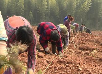 赤壁市稳步推进精准灭荒及长江沿线造林绿化工程