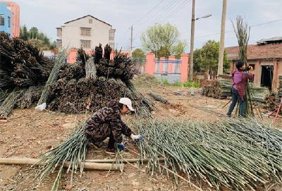 神山镇:菜架竹助推农民增收
