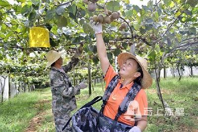 图文:赤壁猕猴桃采摘正当时